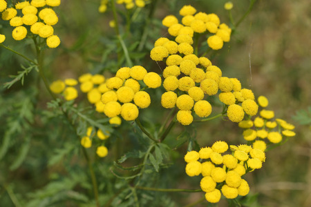 Flowers of the Tansy on a meadow