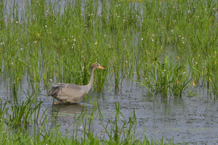common reed: Young common crane Stock Photo