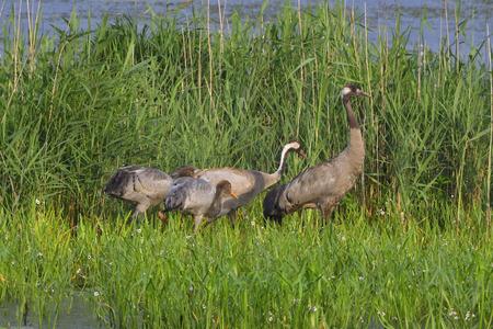 common reed: Common crane family Stock Photo