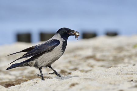 corvus: Hooded crow in the search for food