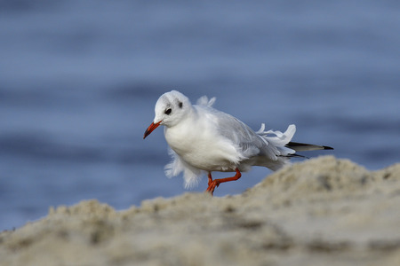 black headed: Black headed gull on the coast