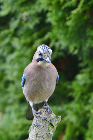 Eurasian jay looking for food