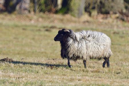 German Grey Heath on a meadow