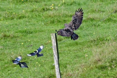 Eurasian magpie and a Common buzzard
