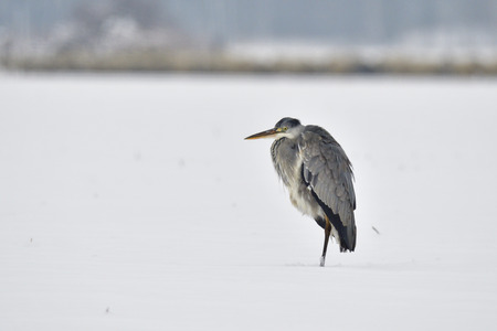 Grey heron in the snow looking for food