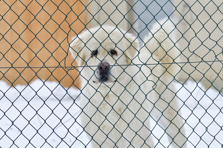 pyrenean mountain dog: Livestock guardian dog in the snow