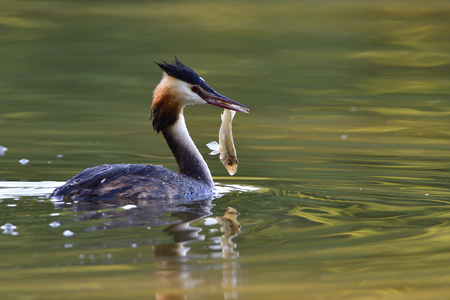 Great crested grebe fishing in a lake
