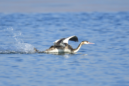 Great crested grebe in a simple plumage in winter