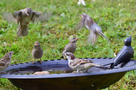 House sparrows in the swim and drink Stock Photo