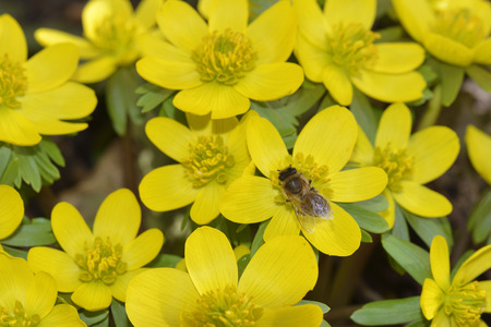 Eranthis hyemalis with a bee