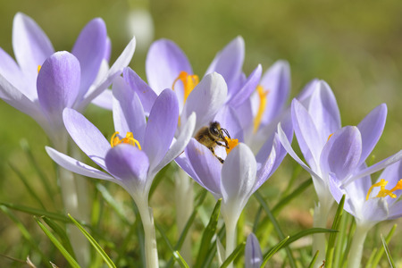 Purple crocuses with bee in spring,