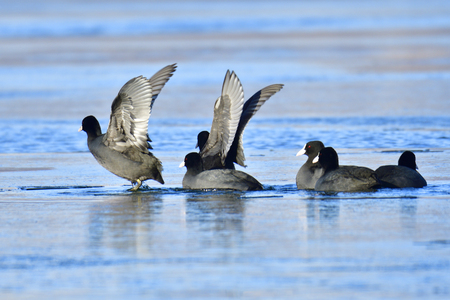 Eurasian coot in winter in saxon Stock Photo