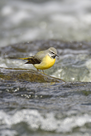 Grey wagtail in spring in a river