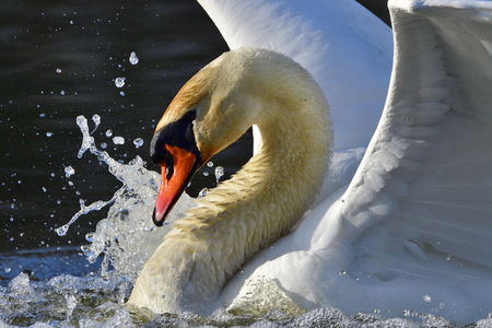 Mute Swan in revier battle in spring Stock Photo