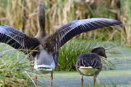 Greylag goose in the morning sun in a lake. Stock Photo