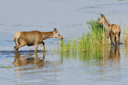 Male and female red deer in a lake
