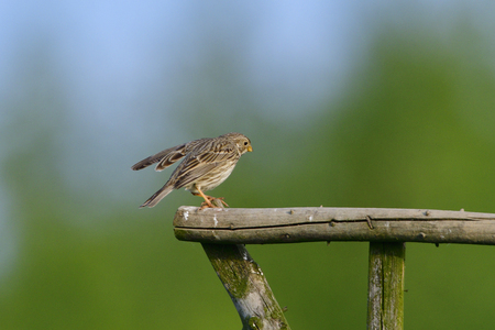 Male corn bunting singing in the morning sun Stock Photo
