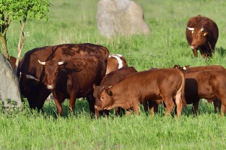 A herd of cows on pasture. Stock Photo