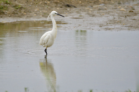Little egret looking for fish