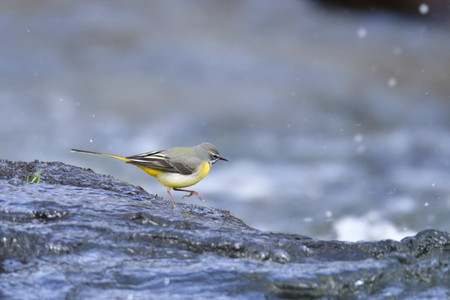 motacilla: Grey wagtail in spring in a river
