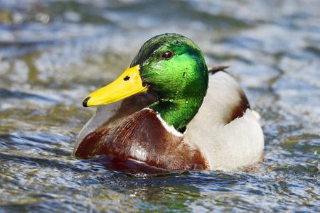 Mallard in spring in a river