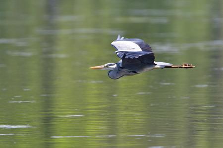 Gray heron fly over a lake Stock Photo