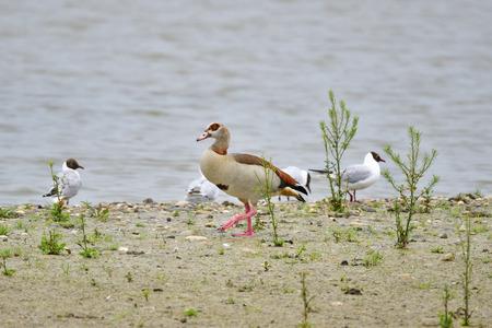 Egyptian goose on a lake