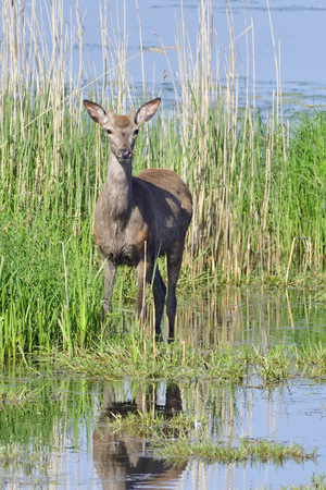 Deer in a lake in saxon