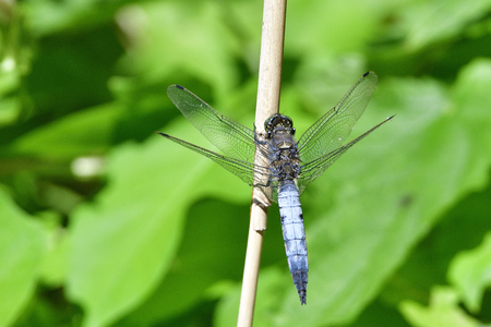Broad-bodied chaser or broad-bodied darter on a reed
