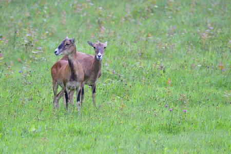 A herd of mouflon on a meadow