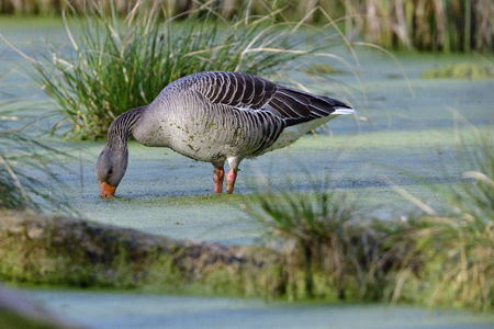 Greylag goose in the morning sun in a lake Stock Photo