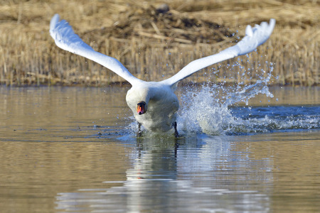 Mute swan in fight in spring Stock Photo