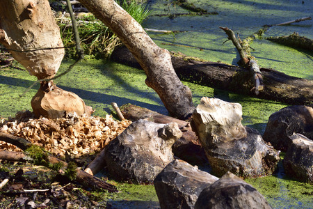 Beaver eating marks