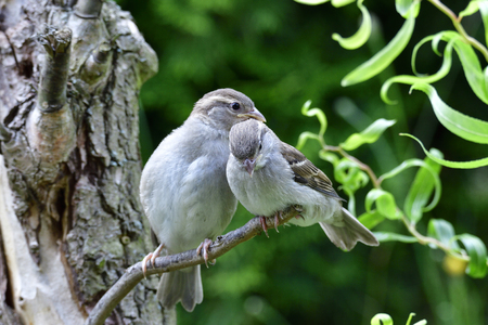 Young house sparrow on a tree Stock Photo