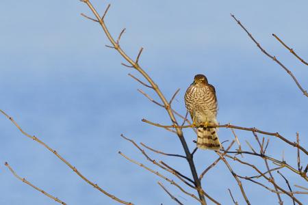 Juvenile Eurasian sparrowhawk in the first winter