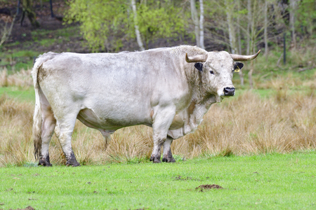 White park cattle standing on a meadow.