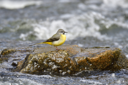 Gray wagtail in a river in spring