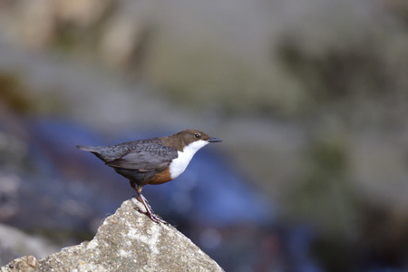 White-throated dipper in spring mating time