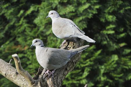 Paar Europees-Aziatische collared duif