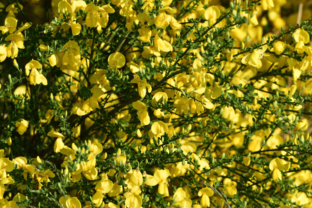 Wild Genista flowers in the forest