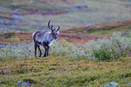 Reindeer in autumn in sweden