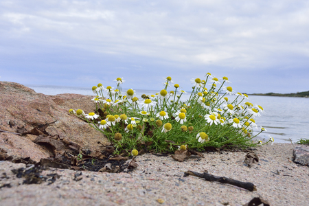 wild chamomile or scented mayweed on the baltic sea Stock Photo