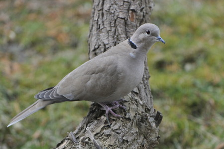 Eurasian collared dove looking for food in spring 写真素材