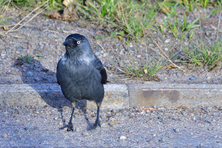 Western Jackdaw looking for food in Sweden Stock Photo