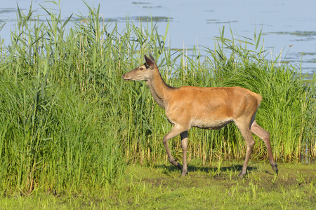 Red deer female in a lake in the morning