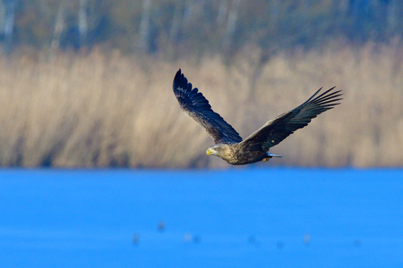 White-tailed eagle in flight in winter