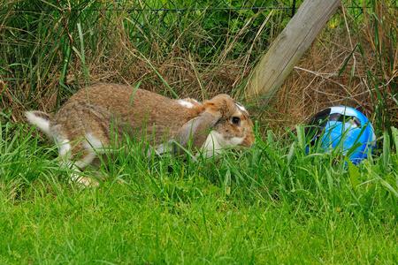 Lop-eared rabbit on a meadow in a garden Reklamní fotografie