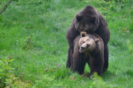 A copulation of brown bears