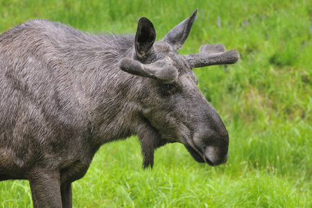 Male Moose bull in the forest looking for food. Banco de Imagens