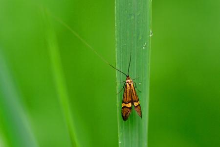 The Adelidae or fairy longhorn moths on a green leaf. Stock Photo